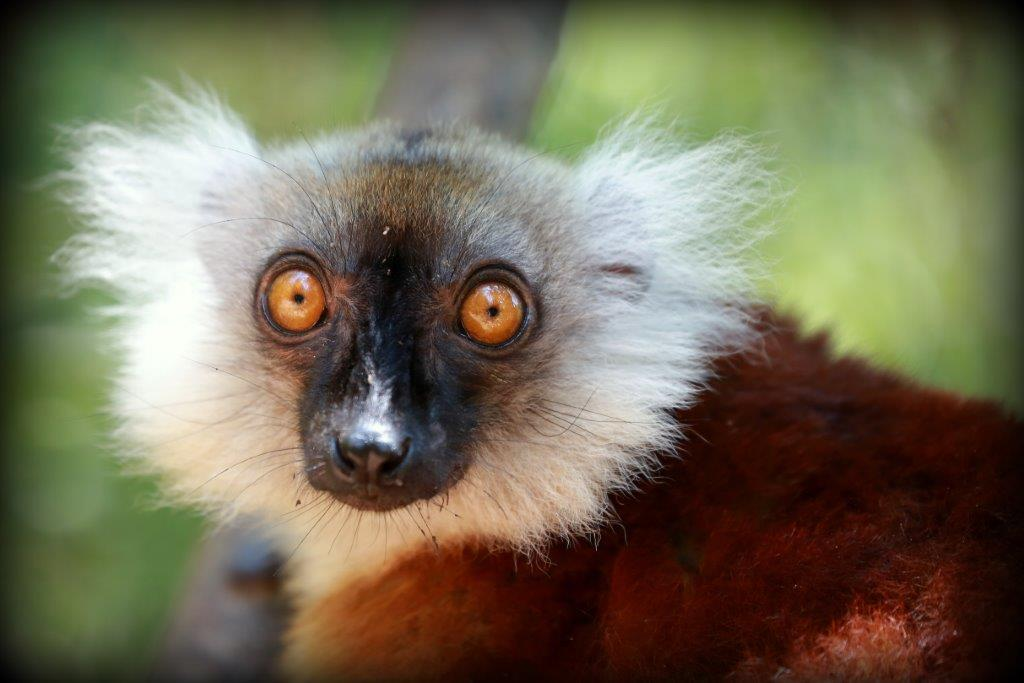 Lemurs Nosy be-Madagascar holidays