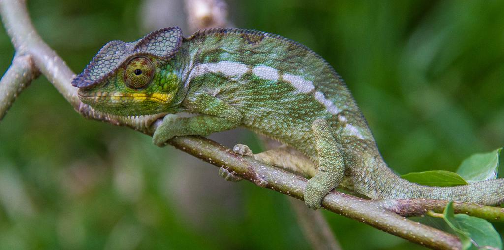Ecotourism in Madagascar - Chameleon