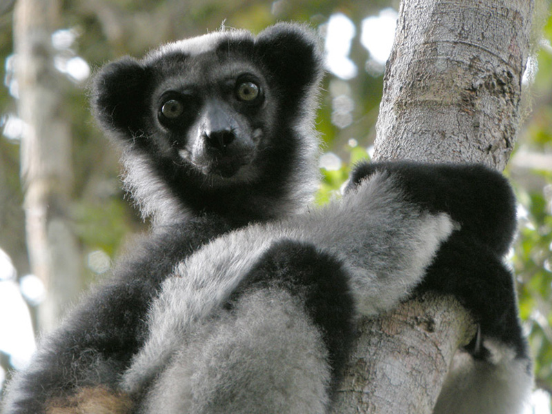 The Indri Lemur - Weird and Wacky Wildlife of Madagascar