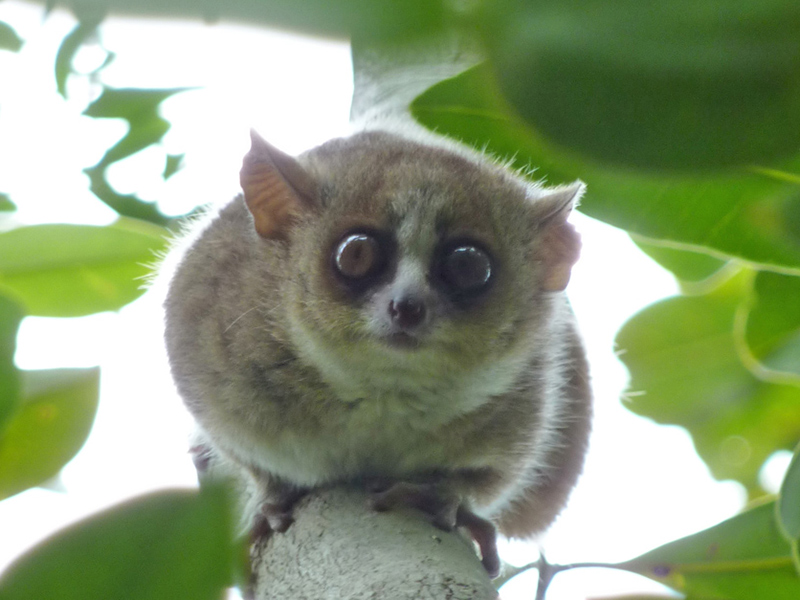 The Mouse Lemur - Weird and Wacky Wildlife of Madagascar
